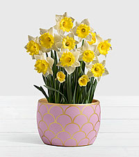 Daffodil Attraction Bulb Garden in Light Pink Container