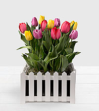 Rainbow Tulips in Fence Container