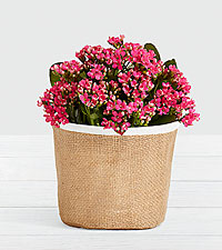 Fresh Blooming Decor Calendiva in Burlap Container