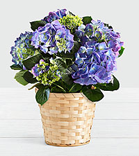 Potted Blue Hydrangea in Woven Basket