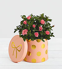 Pink Potted Roses in Pink Polkda Dotted Container