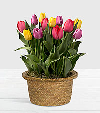 Rainbow Tulips in Light Washed Woven Basket