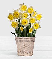 Daffodil Attraction Bulb Garden in White Woven Basket