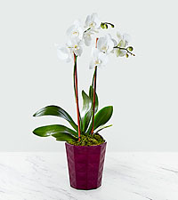 Spring White Orchid