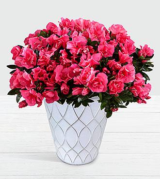 Hot Pink Azalea Plant in Tin