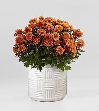 Hello Pumpkin Mum Plant