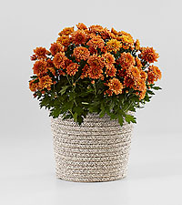 Butterscotch Mum Plant