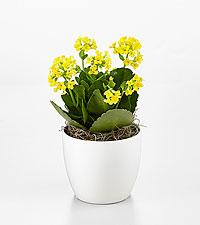 Sunrise Kalanchoe Plant