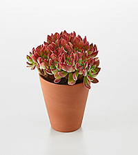 Autumn Essence Succulent