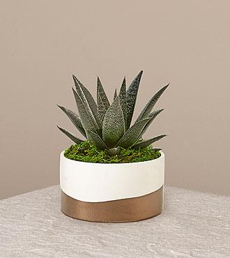 Aloe Flow Plant
