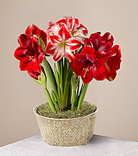 Holiday Cheer Amaryllis Garden