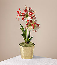 Peppermint Swirl Amaryllis Plant