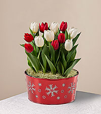 Red & White Holiday Tulip Garden