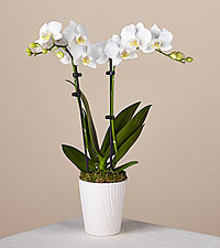 Bliss White Orchid