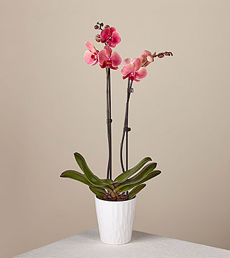 Island Time Coral Orchid
