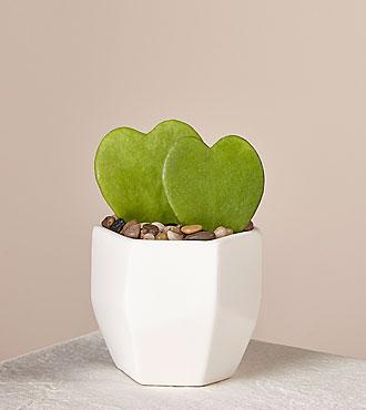 Sweethearts Hoya Heart Succulent