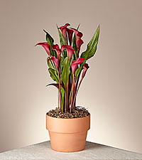 Falling in Love Red Calla Lily