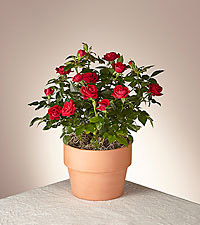 Blooming Red Rose Plant