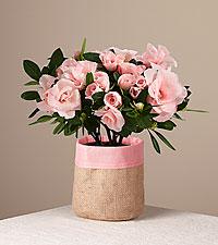 Pink Petals Rosalea Plant