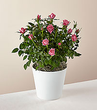 Think Pink Rose Plant