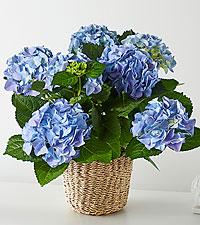 Sky Blue Hydrangea Plant