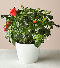 Hibiscus Plant & Sustainable Planter