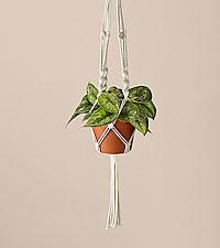 Silver Satin Pothos & Macrame Plant Hanger