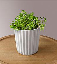Emerald Sedum Succulent