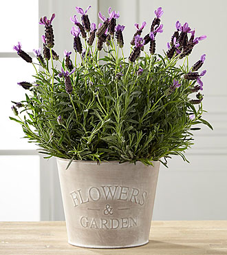 Soothing Lavender Plant