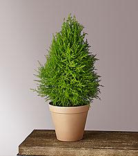 Lemon Cypress Tree