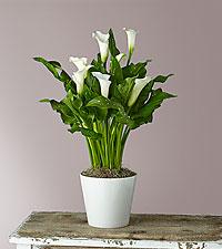 Classic White Calla Lily