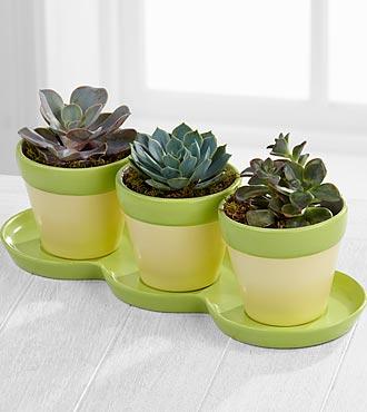 Green Scene Succulent Trio