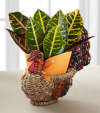 Turkey Trimmings Harvest Croton Plant
