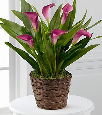 Autumn Elegance Calla Lily Plant-Good