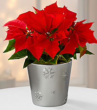 Snowflake's Flight Holiday Poinsettia Plant