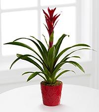 Paradise Blooms Bromeliad Plant