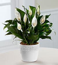 Calming Grace Peace Lily Plant - 4.5-inch diameter