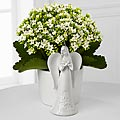 Angel Inspirations Kalanchoe Plant