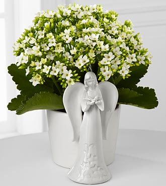 Angel Inspirations Kalanchoe Plant