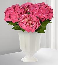 Pink Poetry Hydrangea Plant