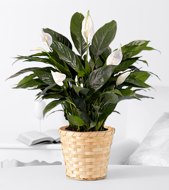 Prayers for Peace Lily Plant - GOOD