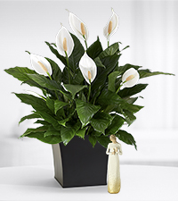 Touched by Peace Lily Plant - BEST
