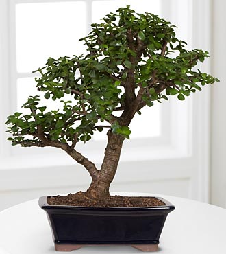 Dwarf Jade Bonsai - Best