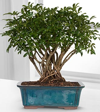 Dwarf Hawaiian Umbrella Tree Bonsai - Best
