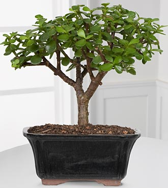 Dwarf Jade Bonsai - Good