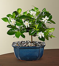 Blossoming Abundance Gardenia Bonsai - 6 inches