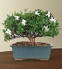 Blossoming Abundance Gardenia Bonsai - 12-inch