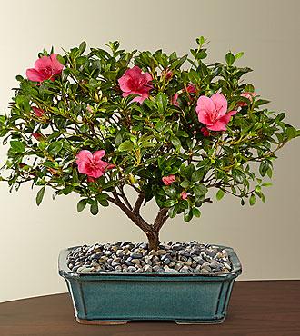 Blooming Azalea Bonsai - 12-inch