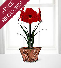 Blooming Bright Holiday Carmen Amaryllis Indoor Grow Kit