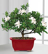 Scenic Snowfall Holiday Gardenia Bonsai - 6-inch